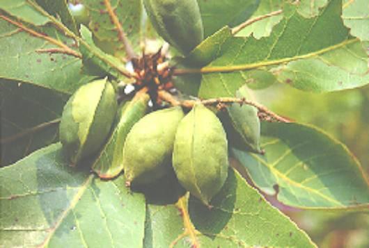 榄仁树的树冠大如伞形,树枝呈水平状展开,加上宽阔的叶片,使其遮阳性