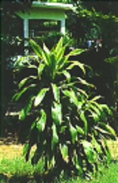 巴 西 鐵 樹